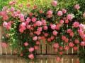 月季花养护常识