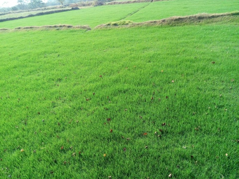 草坪供天堂草坪,百慕大草坪,马尼拉低价13775528172-- 句容万绿园草坪苗木种植有限公司