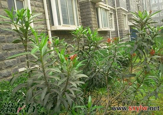 夹竹桃繁殖的2种方法