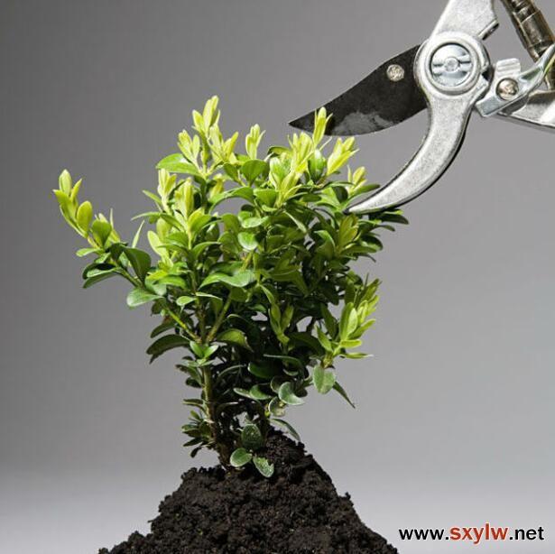 如何给植物修剪