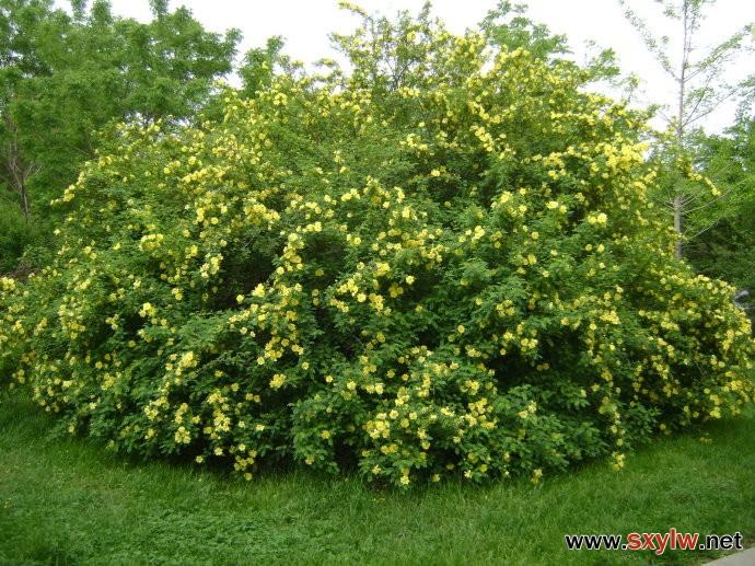 黄刺玫-- 园林编辑