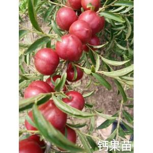 供应钙果苗,中华钙果苗,农大1-8号