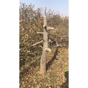 供应1-20公分占地苹果树、桃树、梨树