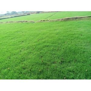 低价供应草坪,百慕大与黑麦草混播草