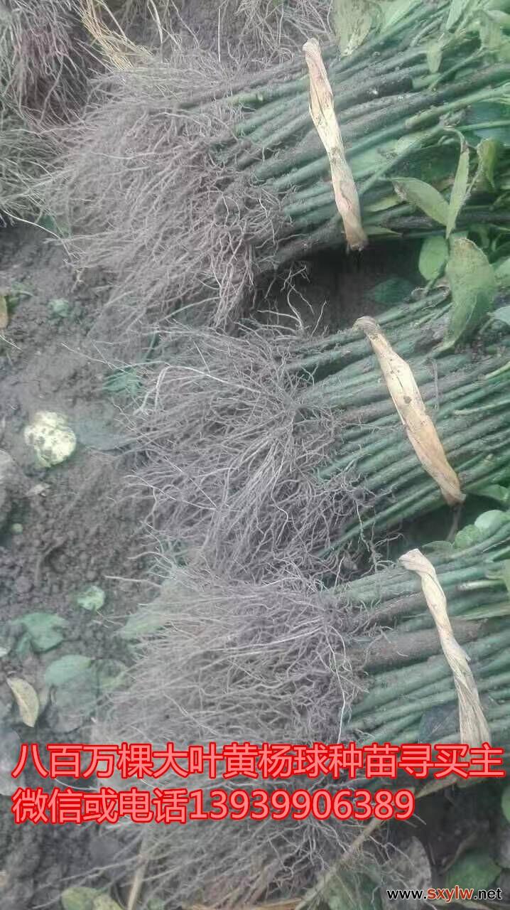 大量的大叶黄杨种苗面向全国接受预订