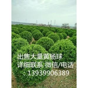 河南偃师浩林苗圃长期供应各种规格的大叶黄杨球等绿化苗木