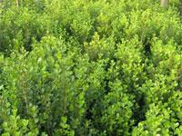朝鲜黄杨,朝鲜黄杨价格,朝鲜黄杨厂家-- 河北定州春源苗圃场