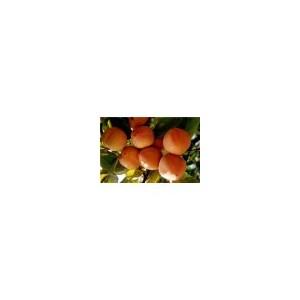 供应山西柿子苗、甜柿子苗
