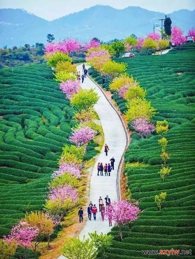 福建漳平最适合春游的好去处!比日本还美的樱花赏地