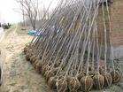 山西苗木--国槐树、卫矛-- 山西省绛县瑞风苗木合作社