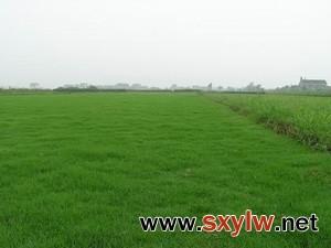 天堂草坪,百慕大草坪,狗牙根草坪低价电13775528172-- 句容万绿园草坪苗木种植有限公司