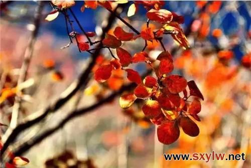常见的彩叶树种观赏特征和园林用途大全