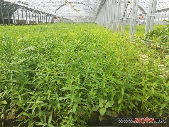供应陕西千屈菜杯苗种苗容器苗观赏草花种子