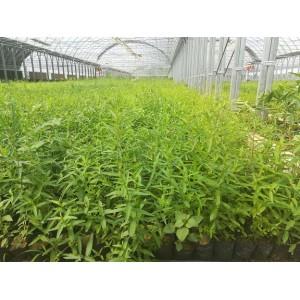 供应陕西千屈菜杯苗种苗容器苗观赏草