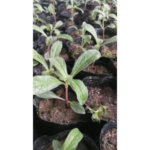 陕西地区供应千日紫杯苗种苗容器苗观