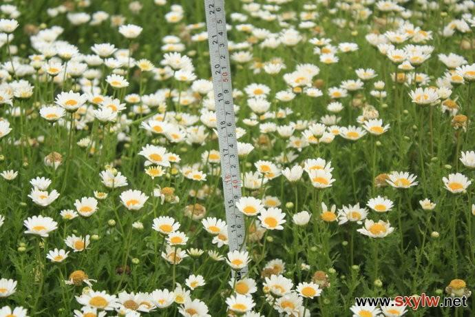 供应全国范围白晶菊一级种子-- 北京花泽种业有限公司