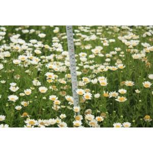 供应全国范围白晶菊一级种子