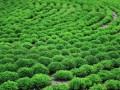 园林绿地中苗木衰弱老化成因及养护对策