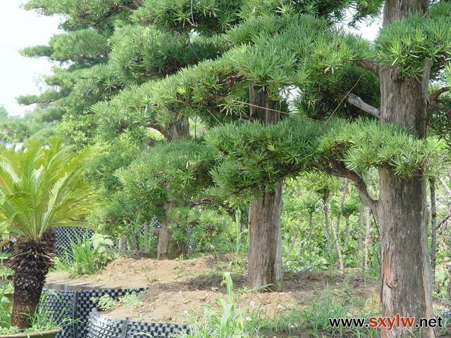 园林植物生根剂的使用技巧及关键时期