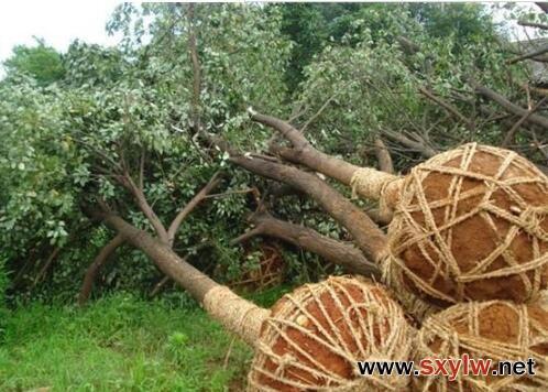 秋季苗木移植假植技术