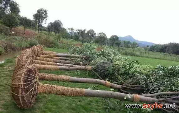 工程苗木筛选的标准