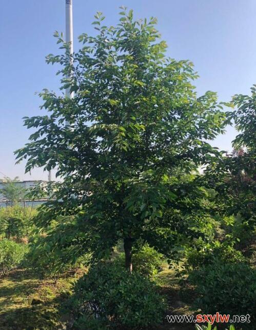 树木各器官之间的关系与树木移栽