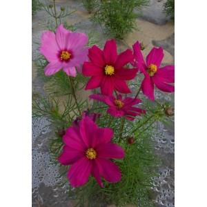波斯菊种子百日草种子