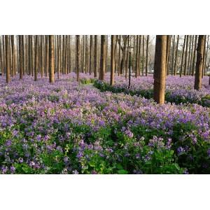 秋播二月兰种子耐寒耐荫多年生宿根诸葛菜花种子室外易种园林绿化