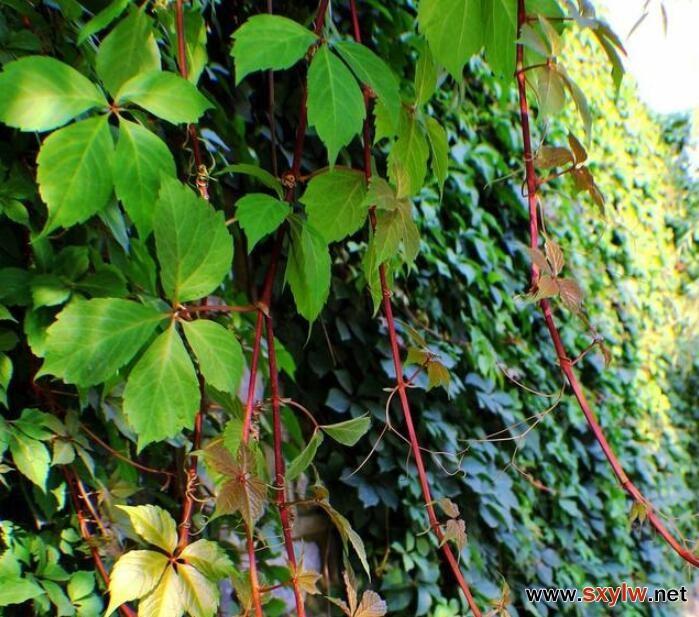 藤本植物在垂直绿化中的应用