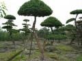 造型苗木或成园林绿化主流